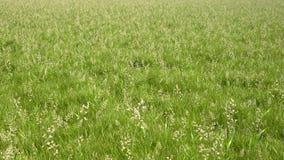 Renda il campo di erba Immagine Stock
