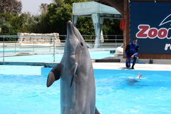 Rendement avec des dauphins à Zoomarine-ÉDITORIAL Image libre de droits