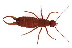 Render of earwig Royalty Free Stock Photo