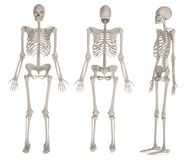 Render of female skeleton Stock Images