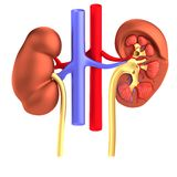 Render of urinary system Royalty Free Stock Images