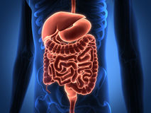 Rendering Intestinal internal organs Royalty Free Stock Images