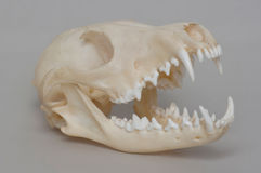 Rendering of naked fox skull. Stock Photos