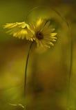 Rendez-vous koloru żółtego kwiaty Zdjęcie Royalty Free