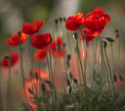Rendezvous under the poppies Royalty Free Stock Photography