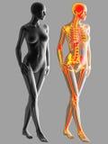 rendição 3d do osso do corpo humano Imagem de Stock