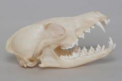 Rendição do crânio despido da raposa. imagens de stock royalty free