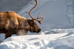 Rendier in de sneeuw Stock Afbeelding