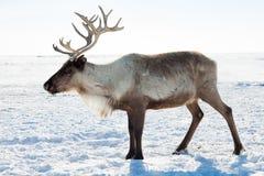 Rendier in de wintertoendra royalty-vrije stock afbeelding