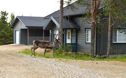 Rendier dichtbij houten plattelandshuisje Fins Lapland stock foto's