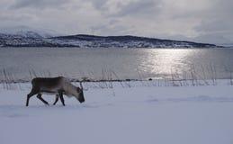Rendier die in de sneeuw met bergen en overzees lopen te eten stock afbeeldingen