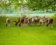 Rendier fawn weiland op groen gebied tijdens de zomer Stock Afbeelding