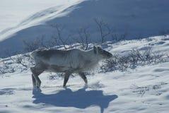 Rendier in Groenland stock afbeeldingen