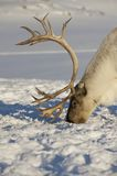 Rendier in natuurlijk milieu, Tromso-gebied, Noordelijk Noorwegen Stock Foto's