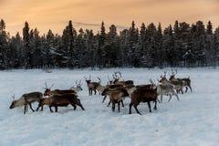 Rendier in noordelijk Finland stock afbeeldingen