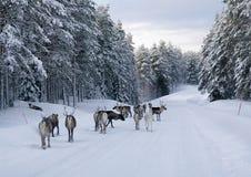 Rendier op de weg in noordelijk Zweden Royalty-vrije Stock Fotografie