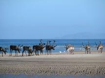 Rendier op het strand Stock Afbeelding