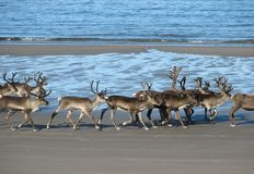 Rendier op het strand Royalty-vrije Stock Foto