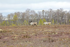 Rendier: stieren zij-herten en hoog moeras Lapland in de lente stock afbeelding