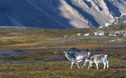 Rendier in Svalbard/Spitsbergen stock fotografie