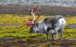 Rendier in Svalbard/Spitsbergen stock foto