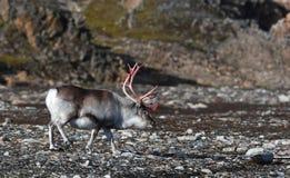 Rendier in Svalbard/Spitsbergen stock afbeelding