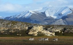 Rendier in Svalbard/Spitsbergen royalty-vrije stock fotografie