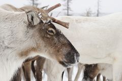 Rendieren De winter Yakutia stock foto's