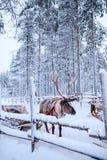 Rendieren in een de winterlandschap Royalty-vrije Stock Foto's