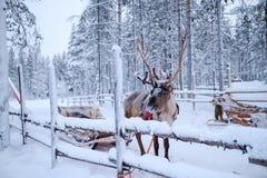 Rendieren in een de winterlandschap Royalty-vrije Stock Afbeeldingen