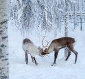 Rendieren in een de winterlandschap Royalty-vrije Stock Afbeelding