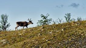 Rendieren in natuurlijk milieu, Roros-gebied Stock Afbeelding