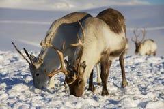 Rendieren in natuurlijk milieu, Tromso-gebied, Noordelijk Noorwegen Stock Foto