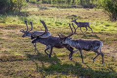 Rendieren op het gras Stock Foto