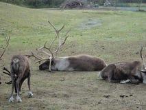 Rendierkariboe in het weiden van Alaska op een grasrijk gebied Samen gegroepeerd als kudde royalty-vrije stock afbeelding
