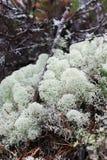 Rendierkorstmos (Cladonia-portentosa) Stock Afbeelding