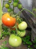 Rendimento dei pomodori fotografia stock