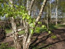 Rendlesham skog - Suffolk Royaltyfri Bild