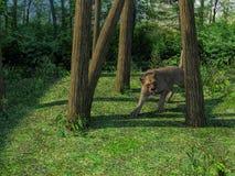 rendu 3d de la chasse de lionne illustration de vecteur