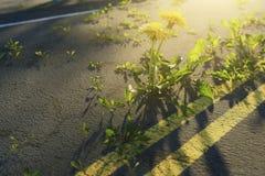 rendu 3d des pissenlits jaunes grandissant sur la route de dommages illustration stock