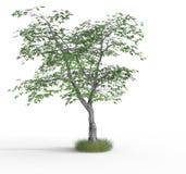 rendu de 3 d d'arbre d'érable photo libre de droits