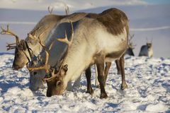 Rene in der natürlichen Umwelt, Tromso-Region, Nord-Norwegen Stockbilder