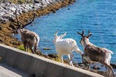 Rene in Finnmark, Norwegen Lizenzfreies Stockbild