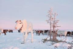 Renen i de Nenets renherdersna campar Royaltyfria Bilder