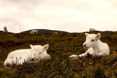 Renen kalvar i Skottland Arkivbilder