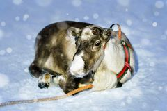 Renen utan horn brukar i vinterfinskan Lapland Arkivfoton