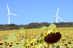 Renewable energy production, bio and wind, Spain. A sunflower field near Quintanavides in the Spanish province of Castile and Leon. Sunflowers are used for oil Stock Photography