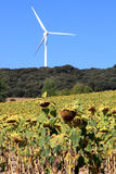 Renewable energy production like bio and wind. A sunflower field near Quintanavides in the Spanish province of Castile and Leon. Sunflowers are used for oil, but Stock Image