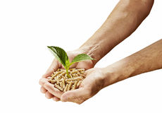 Renewable sustainable fuel and energy concept. With a man holding a heap of wood pellets with a sprouting green plant in his hands isolated on white Royalty Free Stock Image