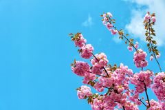 Renewal, rebirth, new life awakening. Sakura tree in blossom on blue sky. Cherry flowers blossoming in spring. Sakura blooming season concept. Nature beauty Royalty Free Stock Photography
